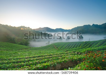 strawberry field in early morning with mist