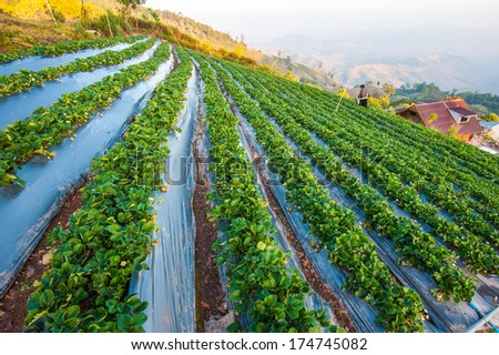 Strawberry field on mountain