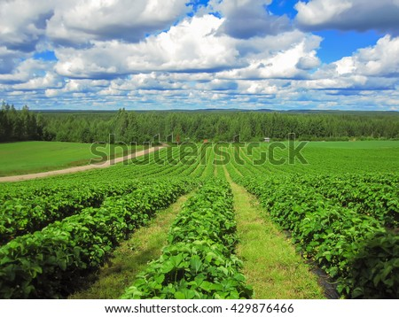 Strawberry field with long raised beds in a Sunny day with clouds in the sky