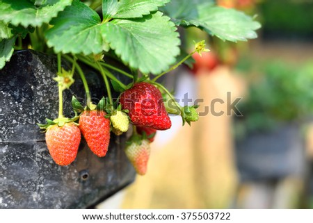 Strawberry fruit in the pot.