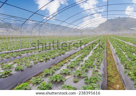 strawberry greenhouse - stock photo