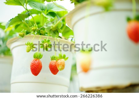 strawberry growing in the pot - stock photo