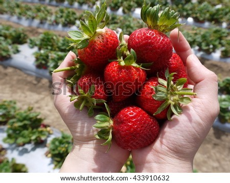 Strawberry in a woman's both hands - stock photo