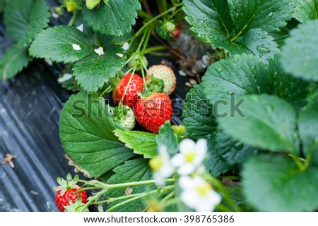 strawberry in garden - stock photo