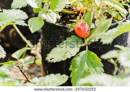 strawberry in pot for crop - stock photo