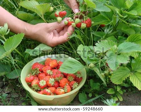 Strawberry, Omsk region, Siberia, Russia - stock photo