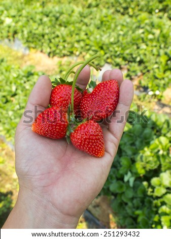 strawberry on hand  ,north of thailand - stock photo