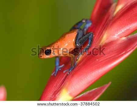 strawberry or blue jeans dart frog on red leaf , selva verde, sarapiqui, costa rica, deadly colorful toxic exotic amphibian in tropical jungle - stock photo