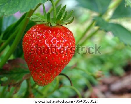 Strawberry plant 1 - stock photo