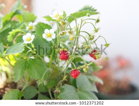 Strawberry plant with fruits and flowers