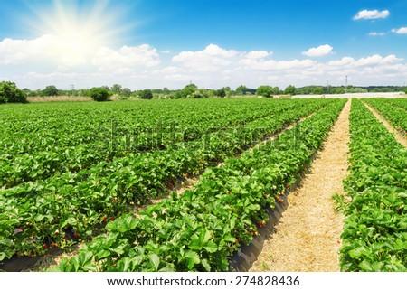 Strawberry plantation on a sunny day - stock photo