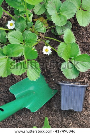 strawberry plants flowering and gardening tool