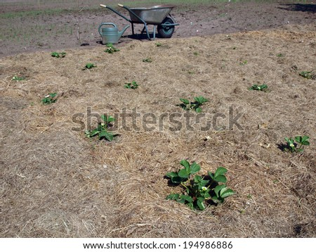 Strawberry plants mulched with chopped grass - stock photo