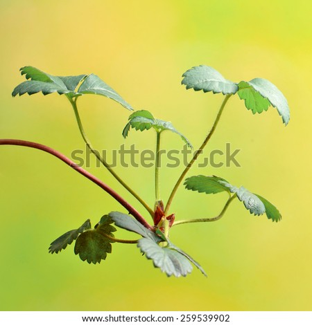 Strawberry plants  Strawberry leaves  - stock photo