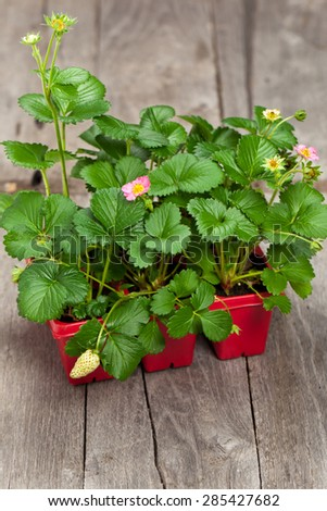 Strawberry plants. Strawberry sprouts in a pot. Selective focus. - stock photo