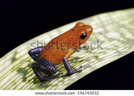 strawberry poison dart frog a beautiful tropical amphibian from the rain forest this red and blue animal is kept as a pet in a rainforest terrarium - stock photo