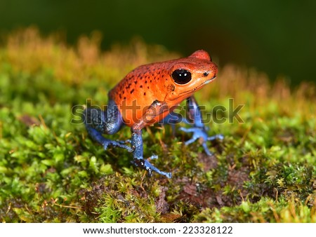 strawberry poison frog or strawberry poison-dart frog or Oophaga pumilio is species of poison dart frog found in Central America. blue jeans color morph is found specifically in costa rica and panama. - stock photo
