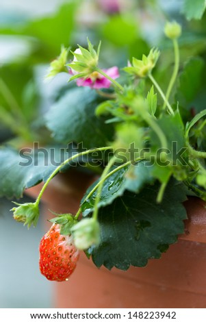 Strawberry pot - stock photo