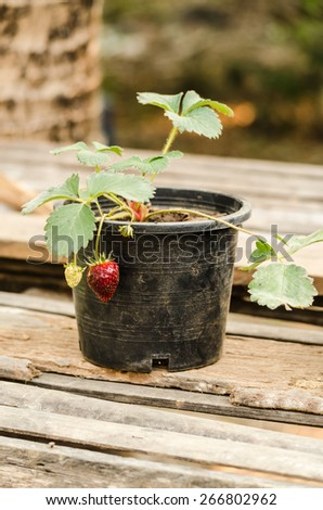 strawberry pot on table - stock photo