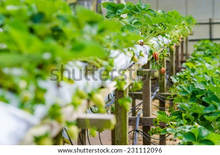 Strawberry production detail inside a greenhouse, Fresh red strawberry - stock photo