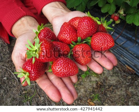 Strawberry red a few pieces in the girl's hand . - stock photo