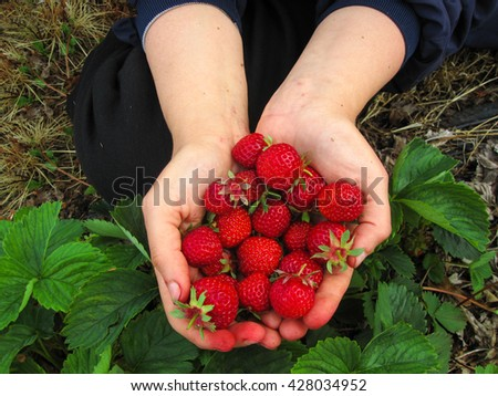 Strawberry red a few pieces in the girl's hand  - stock photo