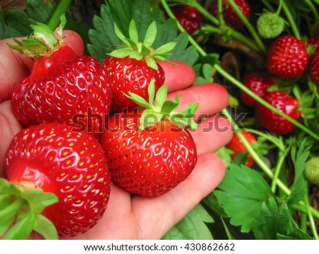 Strawberry red in the  hand - stock photo