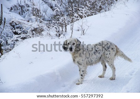 Stray dog, white with black spots on a snow.