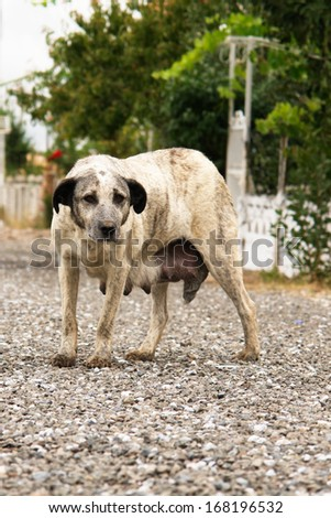 Stray mother dog - stock photo