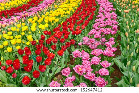 Streams of blooming Dutch tulips in different colors. - stock photo