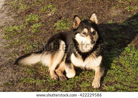 street dog, black Dog, cute black dog, big and good black dog - stock photo