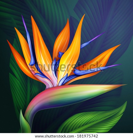 strelitzia bird of paradise exotic flower, botanical illustration - stock photo