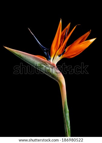 Strelitzia - exotic flower called bird of paradise flower on black background - stock photo