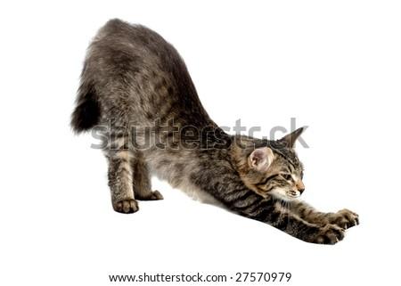 Stretch oneself Siberia kitten - stock photo