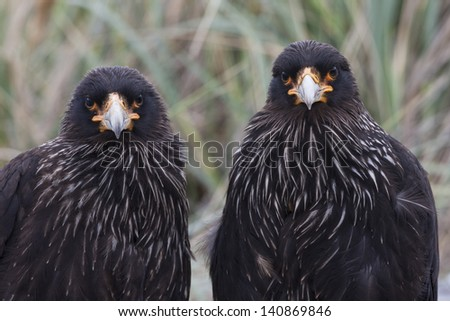 Striated Caracara (Phalcoboenus australis), a mated pair on Carcass Island in the Falklands.