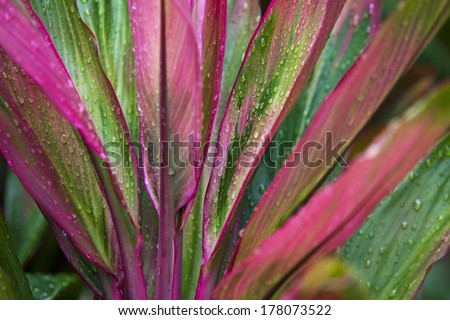 Striking ti plants add color to landscapes in Maui.  Also known as a palm lily, this plant represents good luck. - stock photo
