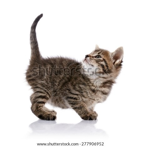 Striped amusing small kitten on a white background. - stock photo