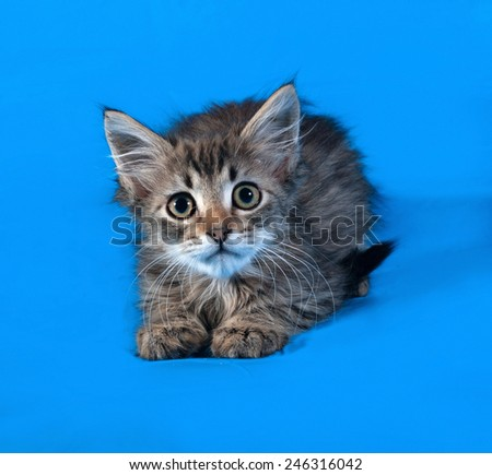 Striped and white fluffy kitten lying on blue background