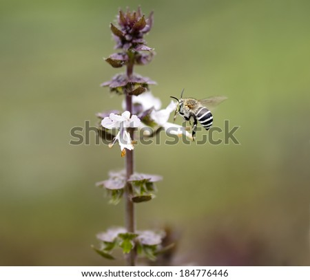 Striped banded Australian native bee Amagilla on a cinnamon basil flower extracting nectar - stock photo