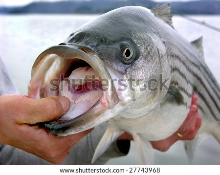 Striped bass caught by angler