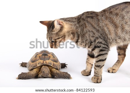 Striped cat examines new friend turtle, isolated on white - stock photo