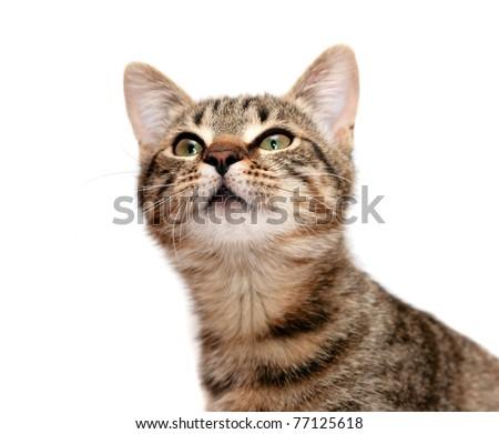 Striped cat looks upwards with interest - stock photo