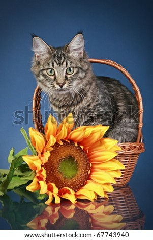 Striped cat sits in basket with sunflower on dark-blue background