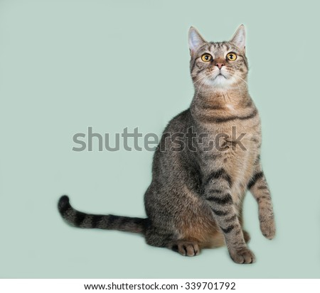 Striped cat sits on green background