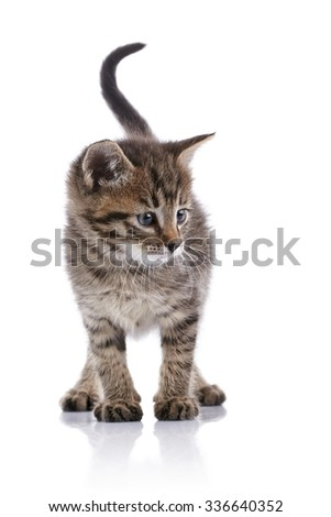 Striped domestic kitten on a white background.
