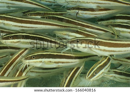 Striped Eel Catfish shoal - stock photo
