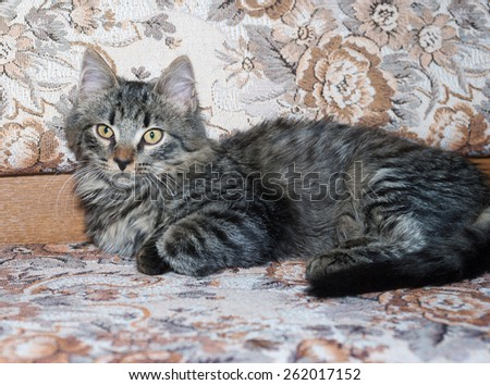 Striped fluffy Siberian kitten lying on motley couch - stock photo