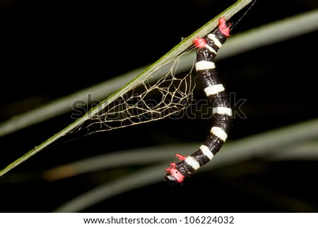 Striped geometrid caterpillar weaving a cocoon in the rainforest understory, Ecuador - stock photo