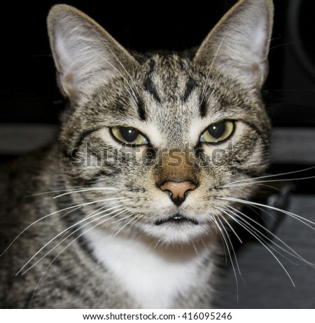 striped gray and white cat with green eyes  and big hairy ears
