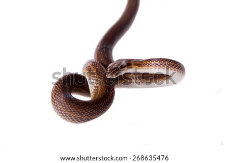 Striped House Snake, Boaedon lineatus, isolated on white background - stock photo